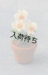ラン(Orchid 蘭) 鉢植え