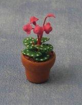 シクラメン (Cyclamen)  鉢植え