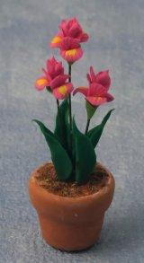アヤメ(Irisアイリス)鉢植え